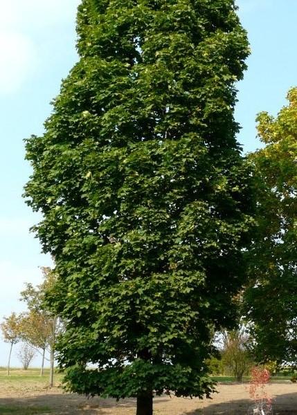 Acer_platanoides_columnare