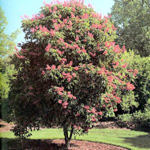 "The red buckeye (Aesculus pavia) grows no larger than 25 feet tall and has spectacular red flowers in late spring. from the book ""Native Trees for North American Landscapes,"" by Guy Sternberg and Jim Wilson"