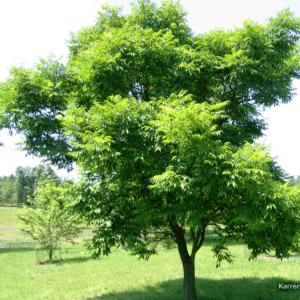 Phellodendron_amurense