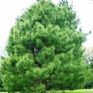 Pinus_wallichiana